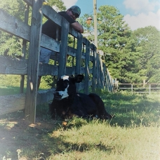 Photo of Dolly the cow laying next to a fence and Cattle Daddy leaning on the fence behind her