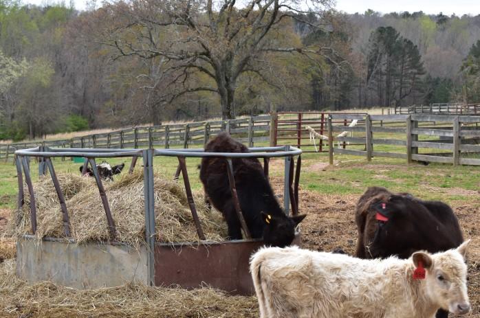 Frat exiting hay ring - Copy